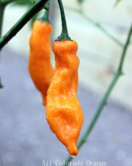 Aji Colorado Orange
