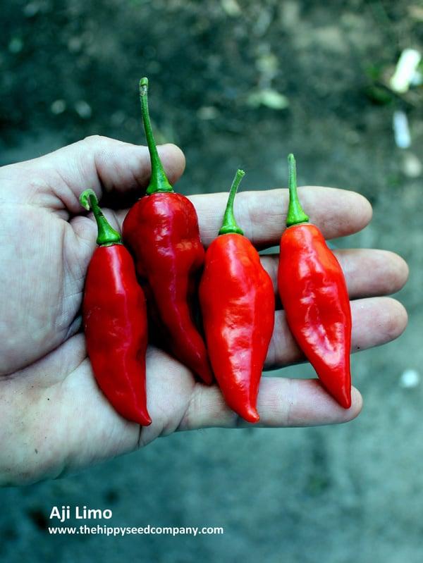 20 CHILE AJI LIMO PERU CEVICHE CHILLI SEEDS SEEDS 100/% GUARANTEED SPICY