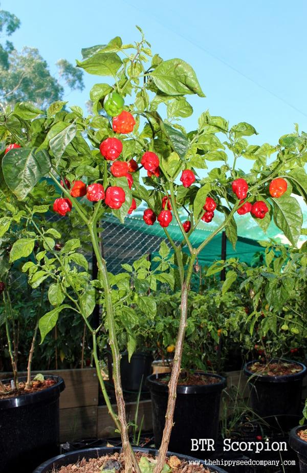 Scorpion pepper plant