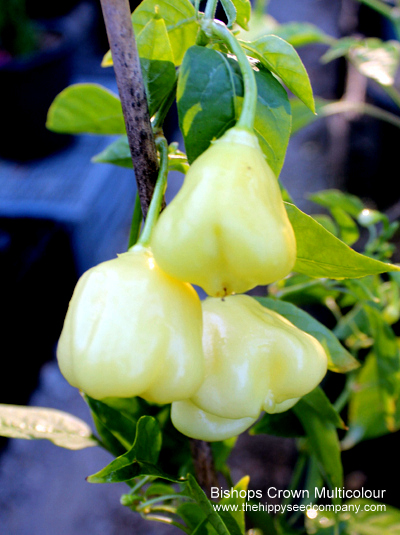 Bishops Crown Multicoloured
