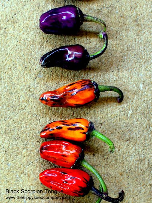 Black Scorpion Tongue Chilli