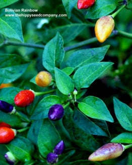Bolivian Rainbow Chilli