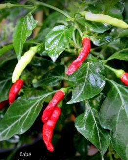 Cabe Chilli Pepper