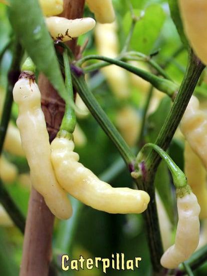 Caterpillar Chilli