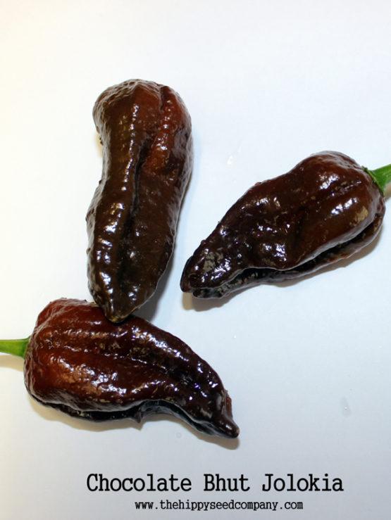 Chocolate Bhut Jolokia