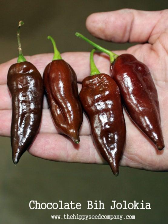 Chocolate Bih Jolokia