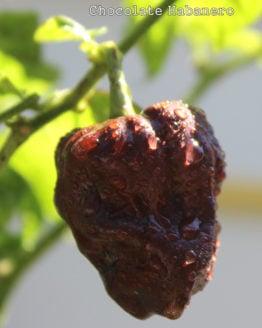 Chocolate Habanero