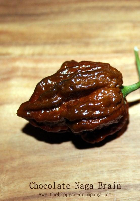 Chocolate Naga Brain