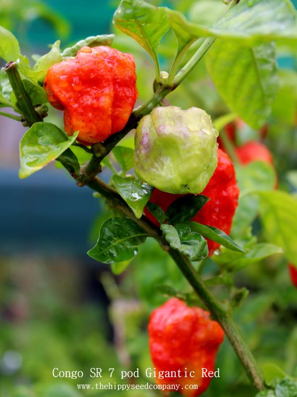 7 Pot Congo SR Hot Pepper Organic Non-GMO 12 Seeds