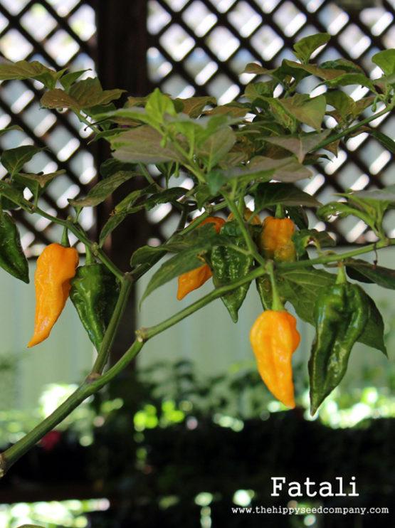 Fatali Pepper