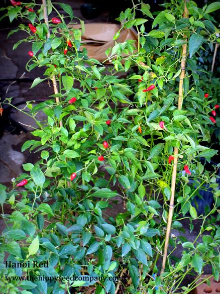 Hanoi Red Chilli