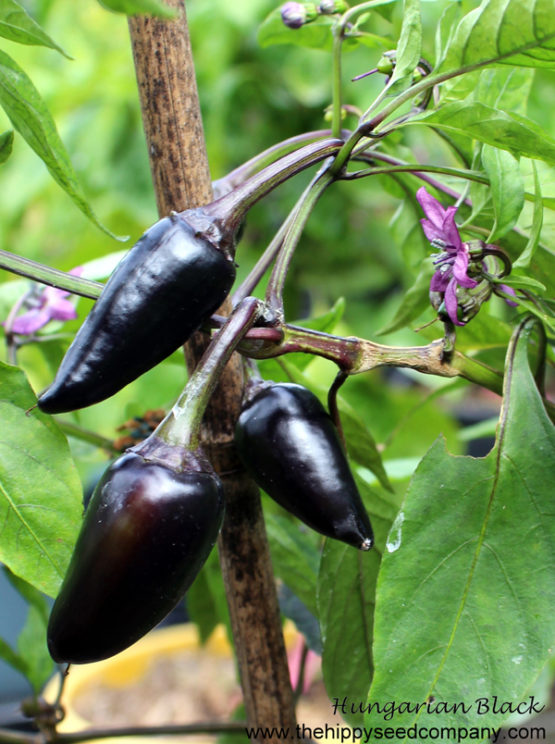 Hungarian Black Chilli