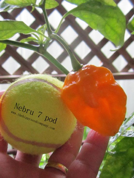 Nebru 7 Pod