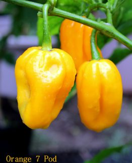 Orange 7 Pod Pepper