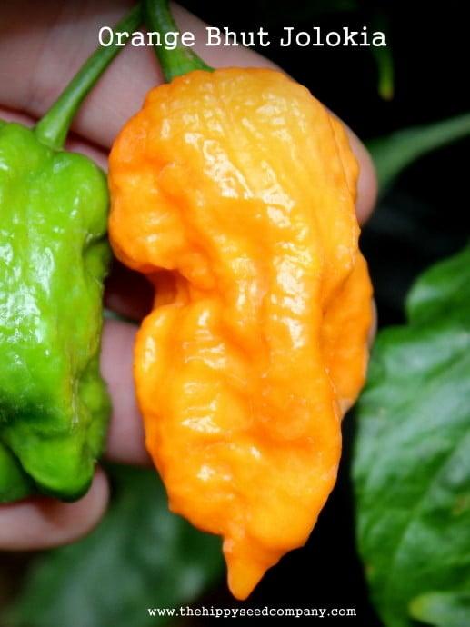 Orange Bhut Jolokia