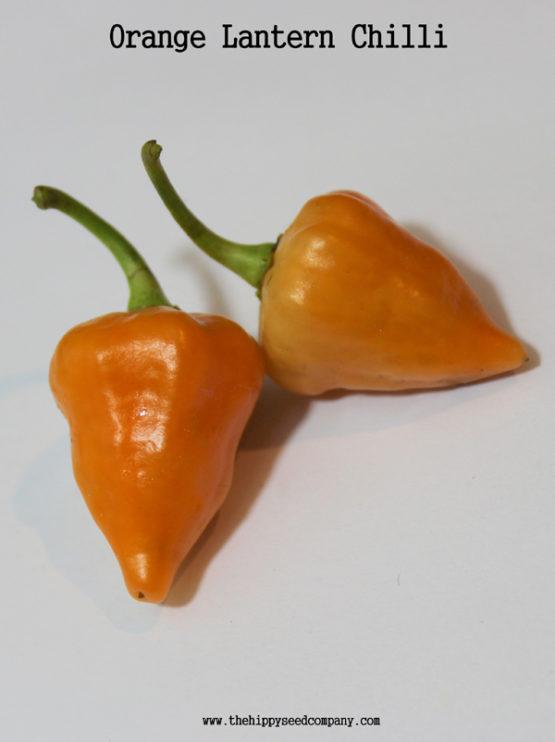 Orange Lantern Chilli