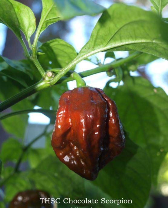 THSC Chocolate Trinidad Scorpion