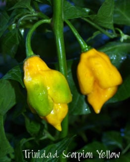 Trinidad Scorpion Yellow