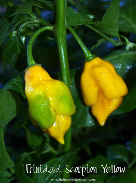 Trinidad Scorpion Yellow