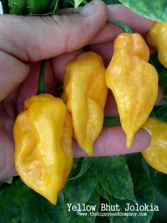 Yellow Bhut Jolokia