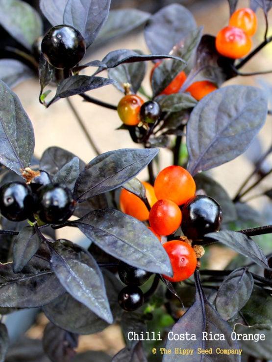 Chilli Costa Rica Orange