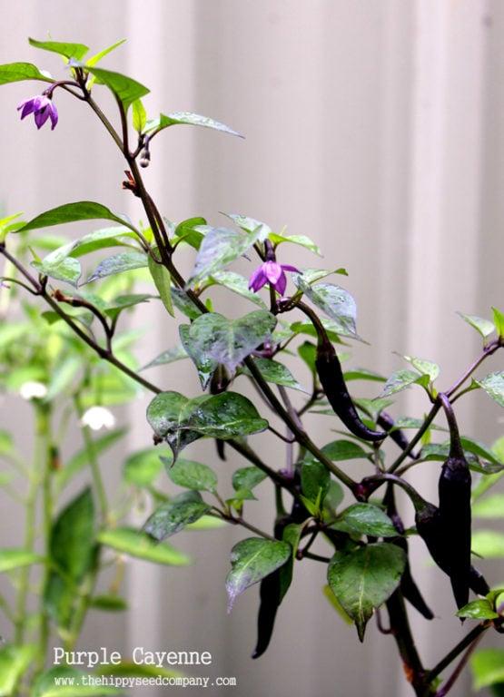 Lilac Cayenne