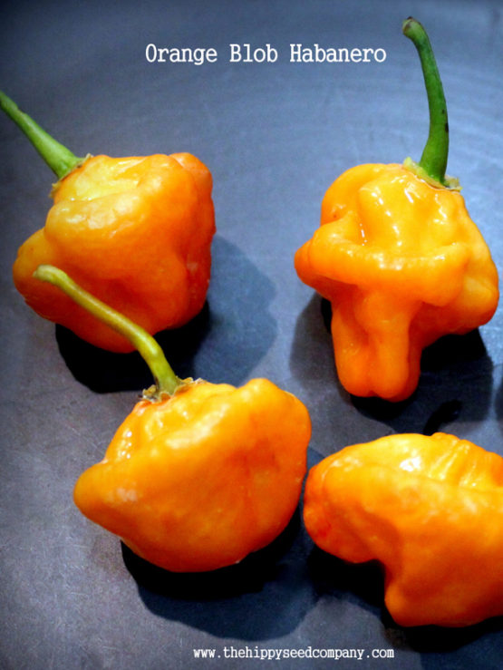 Orange Blob Habanero