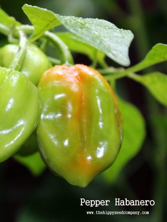 Pepper Habanero