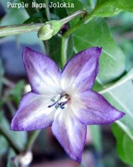 Purple Naga Jolokia