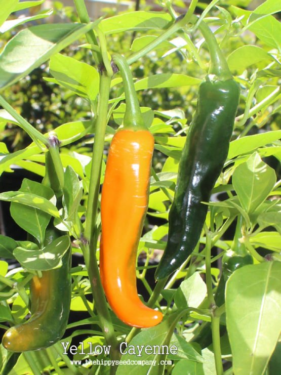 Yellow Cayenne Pepper
