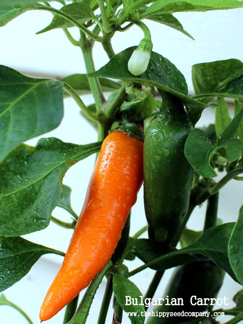 Bulgarian Carrot Chilli