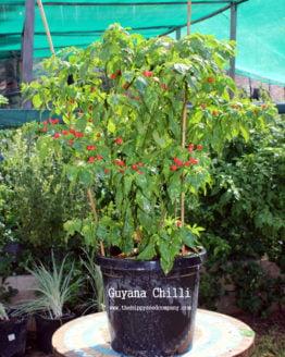 Guyana Chilli