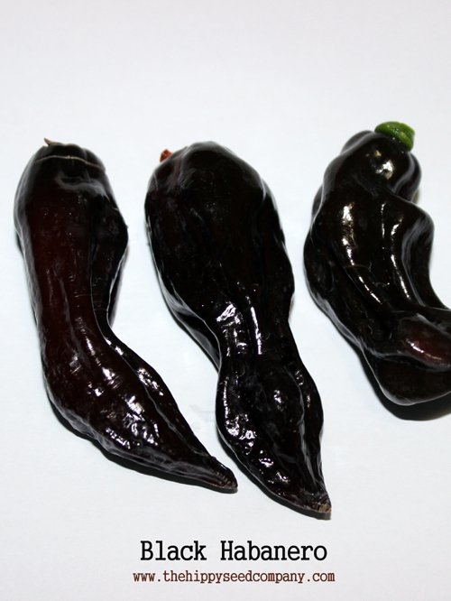Black Habanero