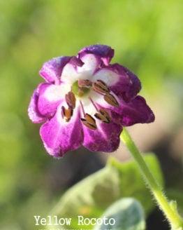 Yellow Rocoto flower