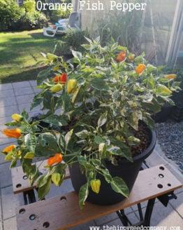 Orange Fish Pepper