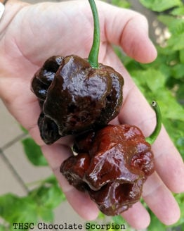 THSC Chocolate Trinidad Scorpion