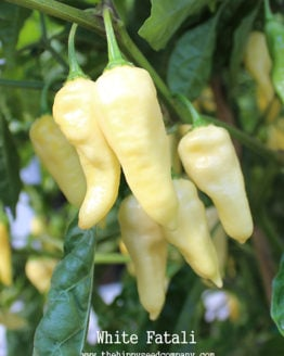 White Fatali Chilli