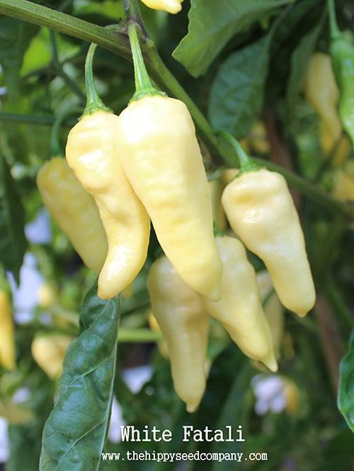 White Fatali Chilli