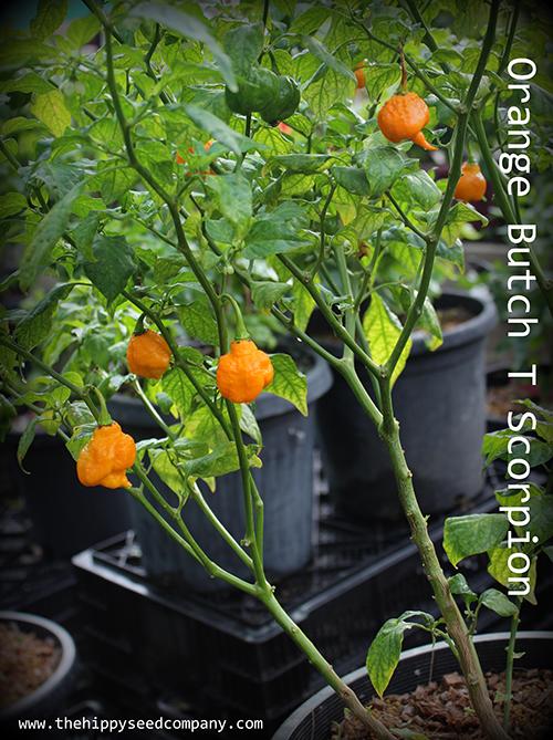 Orange Butch T Scorpion