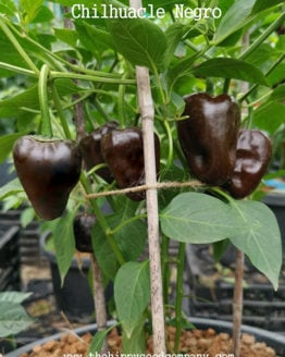 Chilhuacle Negro Chilli
