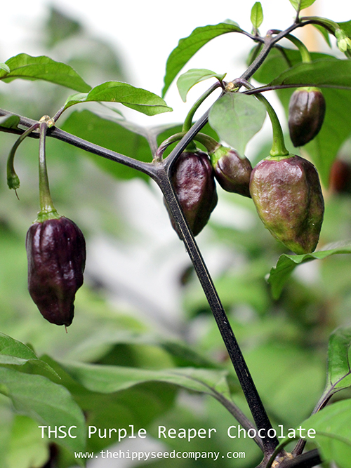 THSC Purple Reaper Chocolate