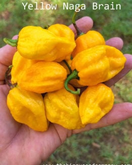 Yellow Naga Brain