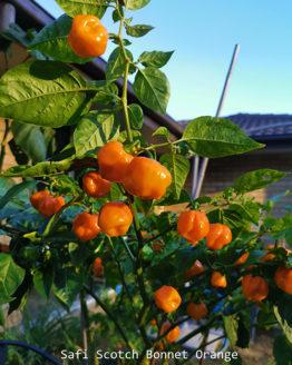 Safi Scotch Bonnet Orange