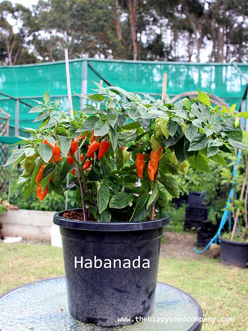 Habanada Habanero